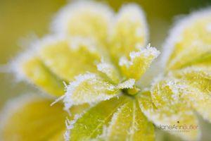 Icy-Choisya--JABP977.jpg