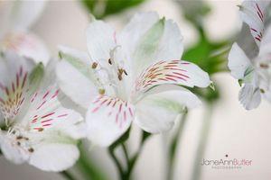 White-Alstroemeria--JABP1180.jpg