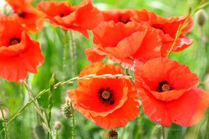 Poppies---Friendship--JABP842.jpg