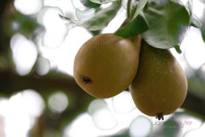 Pair-of-Pears--JABP612.jpg