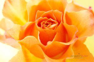 Sun-Kissed-Orange-Rose--JABP1792.jpg
