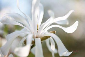 Star-Magnolia---Nurture--JABP1181.jpg