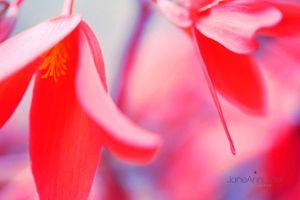 Bellfire-Begonias--JABP852.jpg