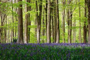 Beautiful-Spring-Bluebell-Woods--JABP1527.jpg