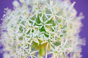 Allium-Everest--JABP891.jpg