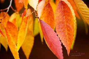 Autumn-Keyaki-Zelkova--JABP934.jpg