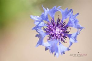 Blue-Cornflower--JABP1354.jpg