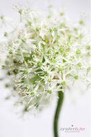 White-Allium-Serenity--JABP1090.jpg