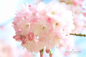 Japanese-Cherry-Yedo-Sakura--JABP465.jpg