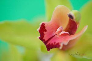 Green-Cymbidium-Pink-Tongue--JABP1508.jpg