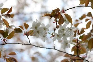 Prunus-Jamasakura--JABP764.jpg