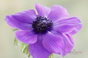 Purple-Anemone--JABP1517.jpg
