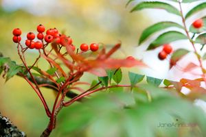 Autumn-Berries--JABP1288.jpg