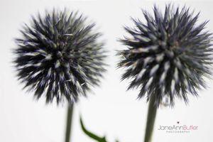 Two-Echinops--JABP1466.jpg