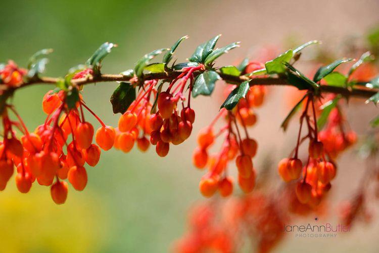 Orange-Berberis--JABP1310.jpg