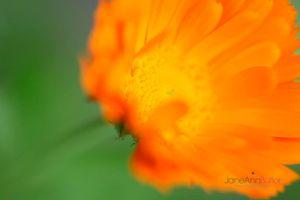 Healing-Calendula--JABP1095.jpg