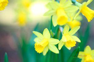 Sunshine-Daffodils--JABP1171.jpg