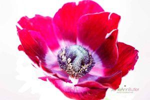 Red-Anemone--JABP1794.jpg