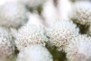 Brunia-Blooms--JABP425.jpg