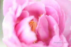 Tulip-Perfection--JABP384.jpg