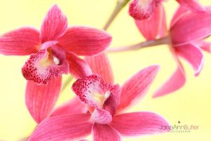 Pink-Cymbidium---Joy--JABP1506.jpg
