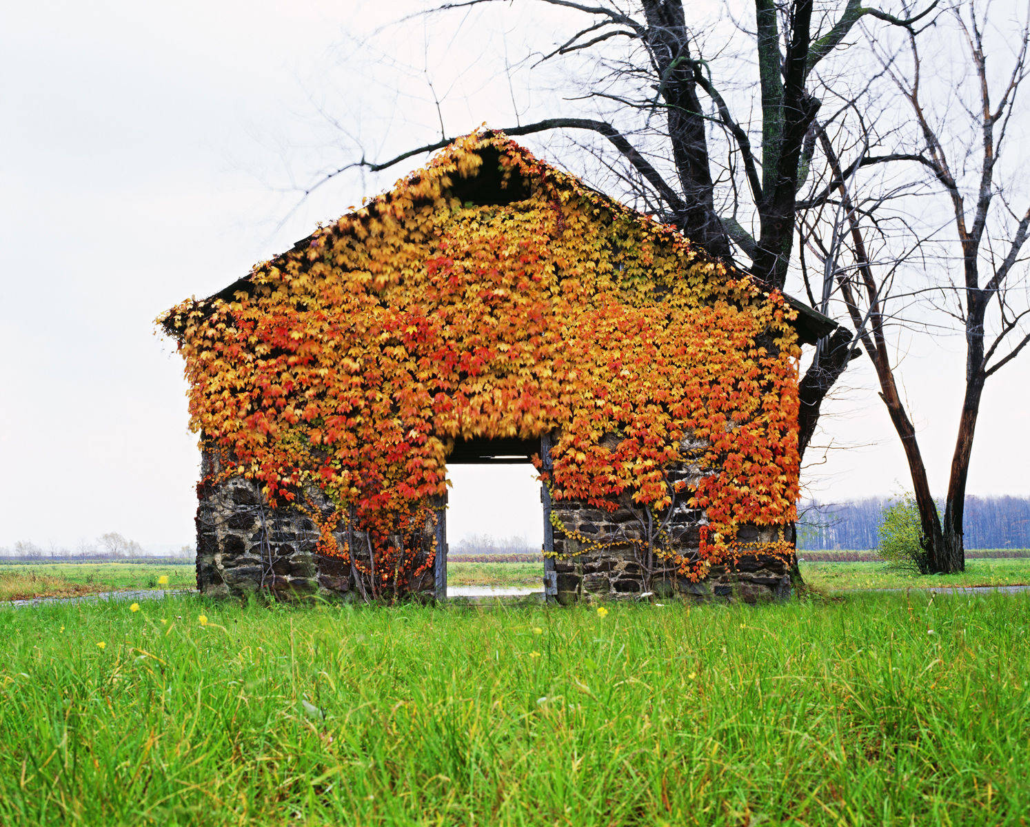 old stone building covered in colourful Virginia Creeper in the
