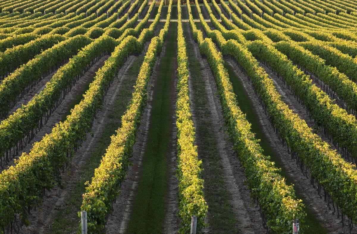 rows of grape vineyards