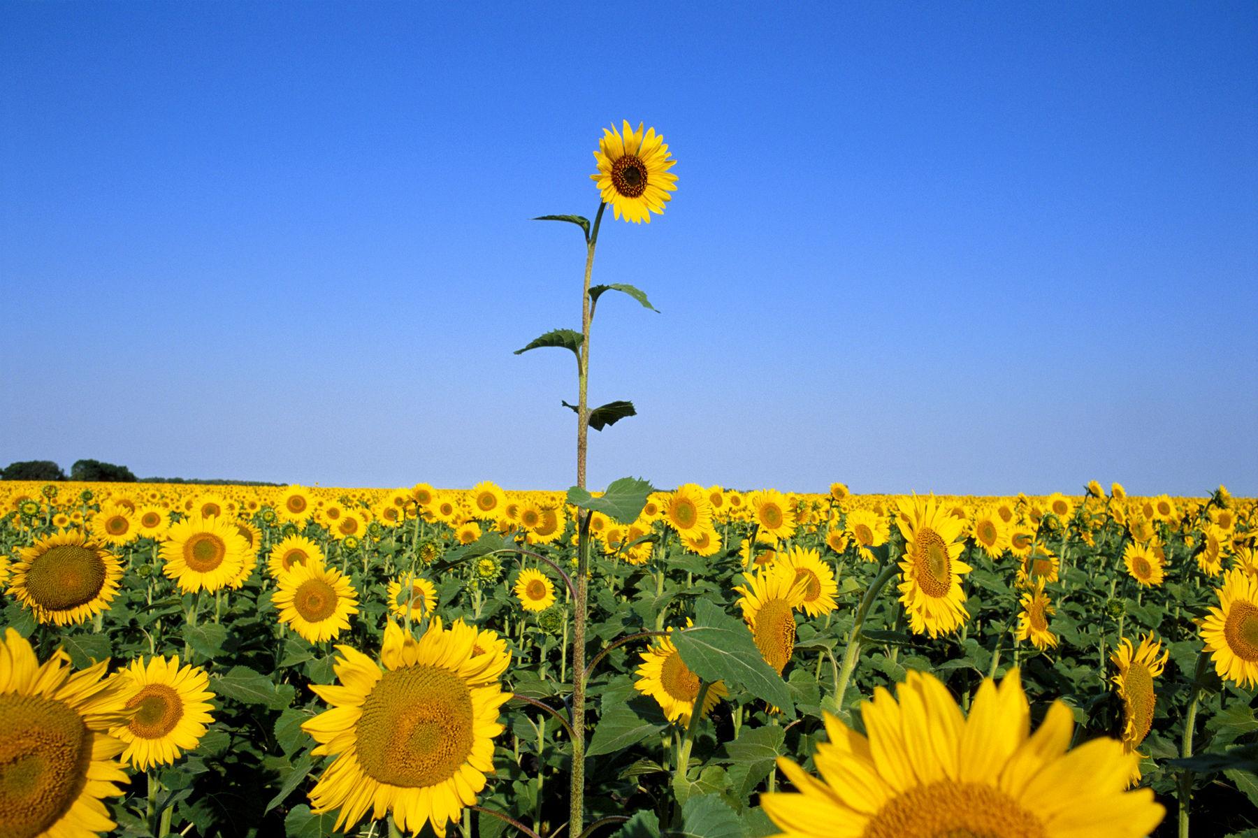 Sunflower (Helianthus annus) rising above field
