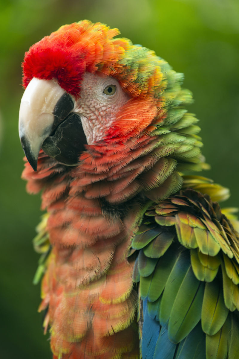 Scarlet Macaw (Ara macao) is a large, colorful macaw