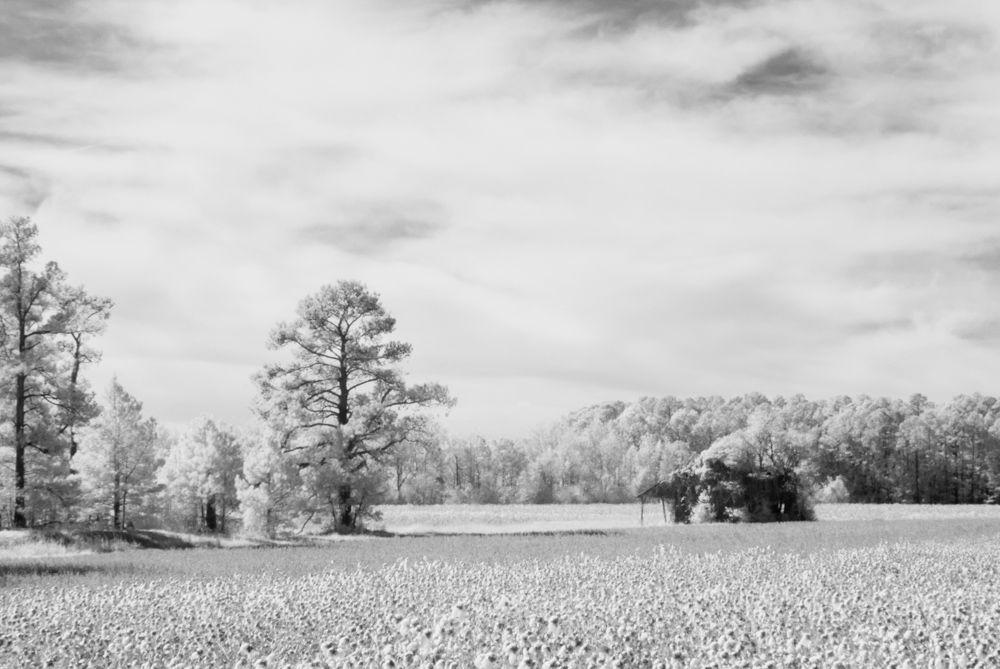 Cotton Field, Infrared