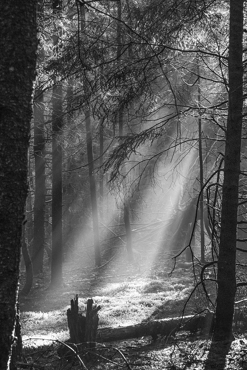 Sun Rays in Woods, ii
