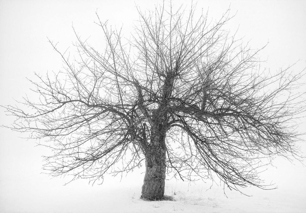 apple_tree_winter_fog.jpg