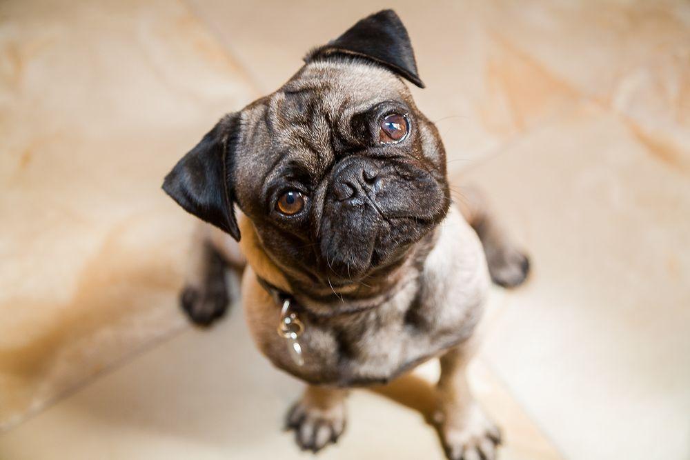1fuji_pug_puppy.jpg