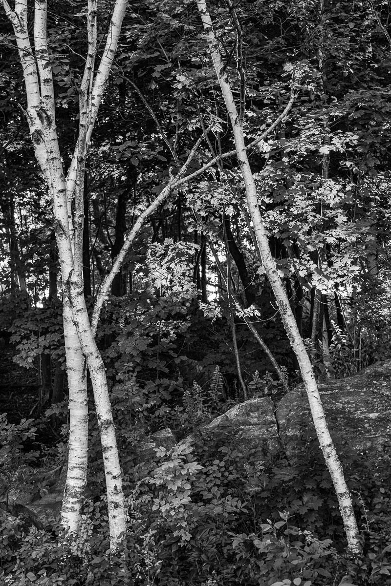 1maine_head_light_birch_trees.jpg