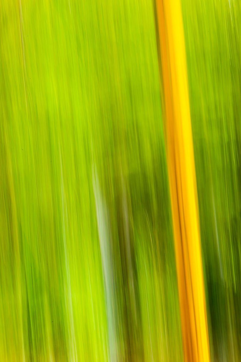 yellow_bamboo_morikami.jpg