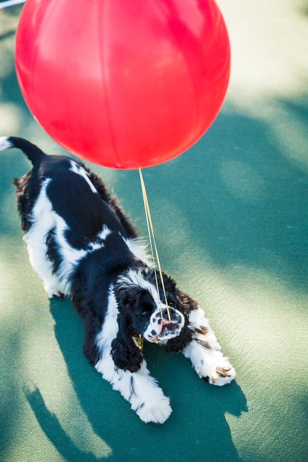 1rocky_cocker_spaniel_red_balloon.jpg