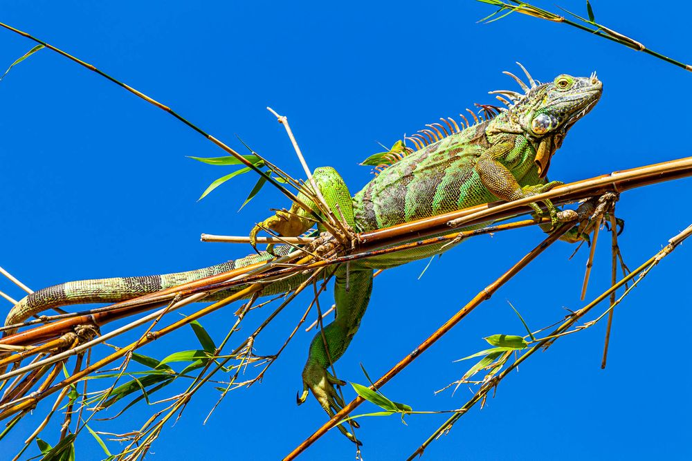 blue_sky_iguana.jpg