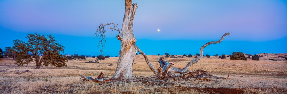 sunset_moonrise_old_tree_california.jpg