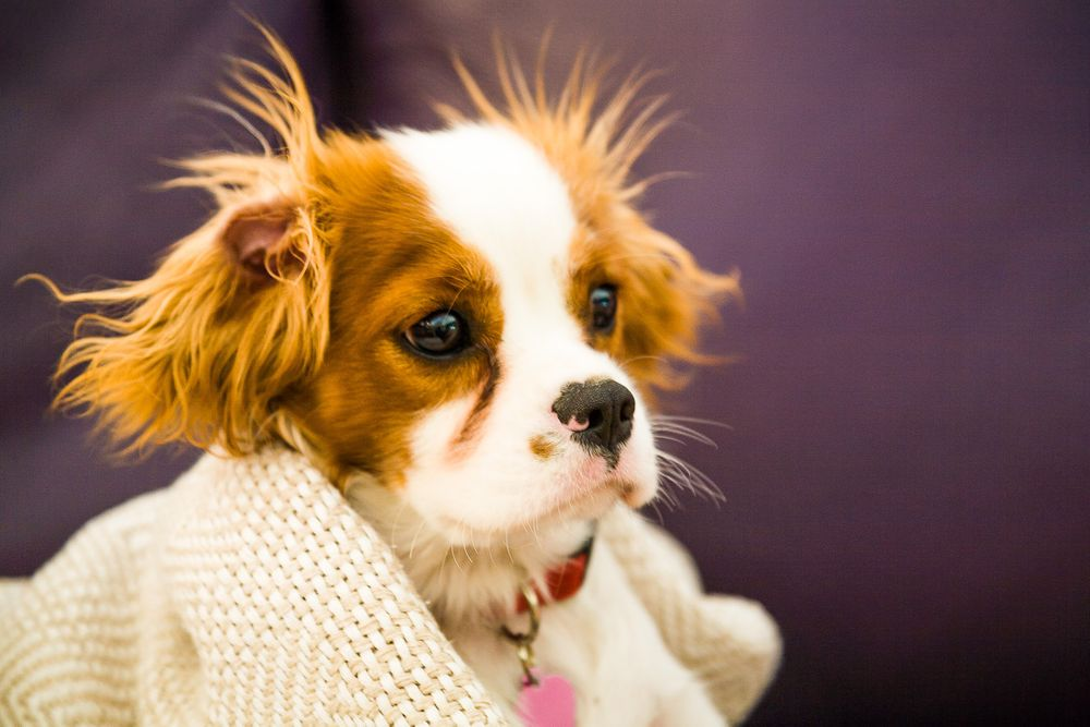 1belle_cavalier_spaniel_puppy.jpg