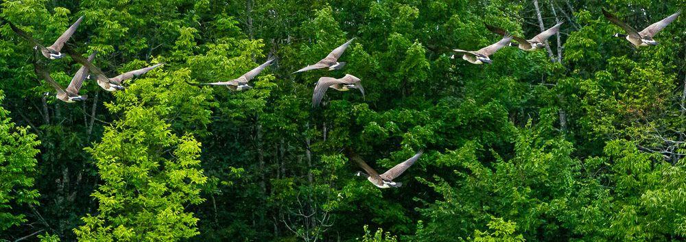 canadian_geese_flying.jpg