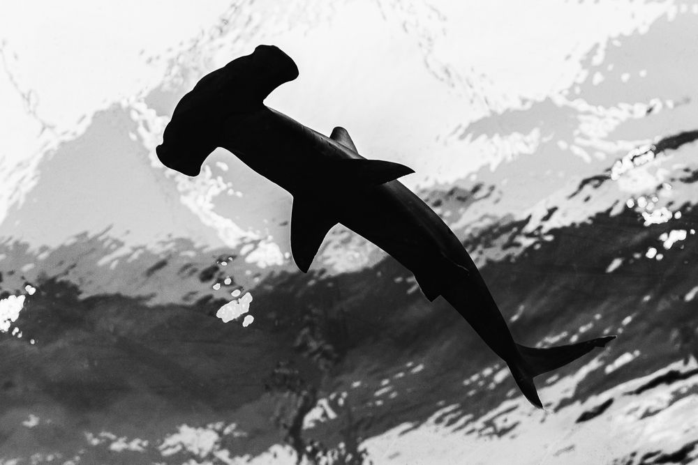 hammerhead_shark.jpg