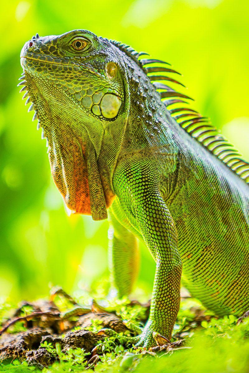 verdant_iguana.jpg