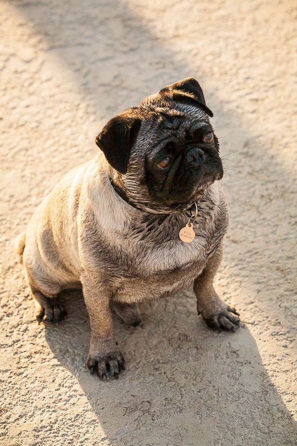 1fuji_pug_focused.jpg