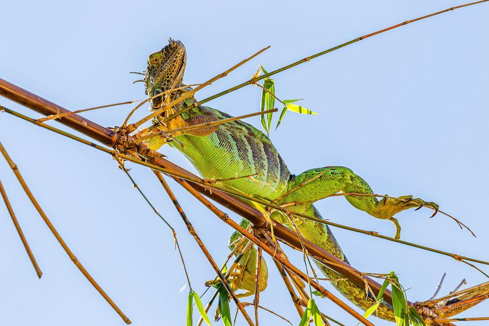 bamboo_iguana.jpg