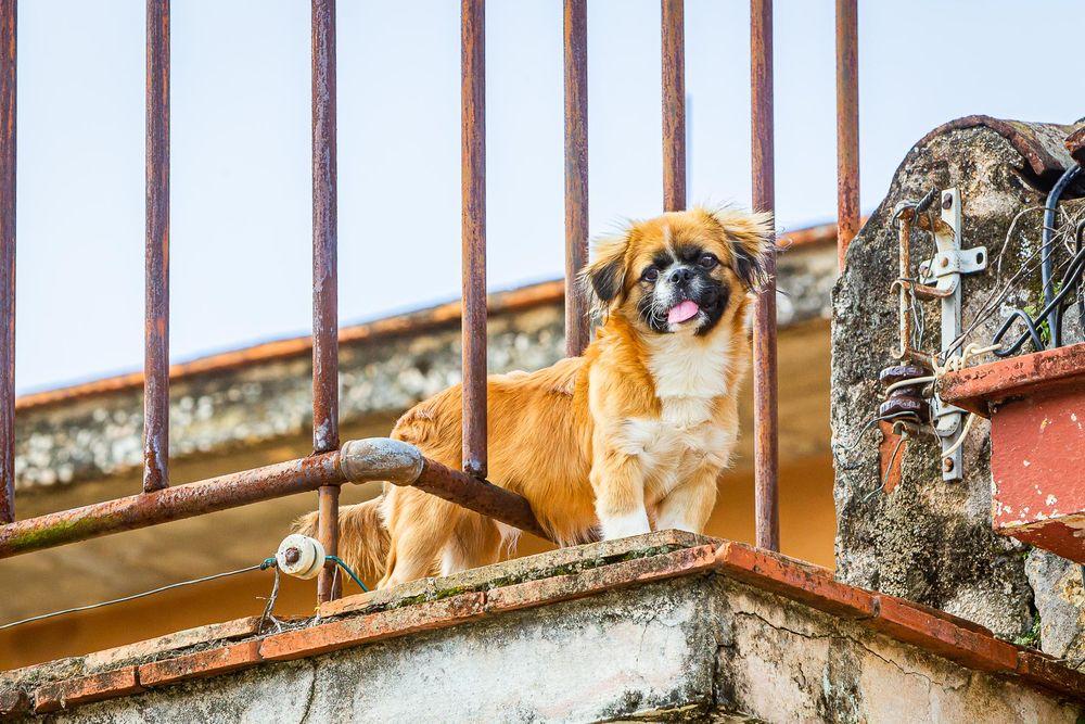 cuba_roof_top_cute_dog.jpg