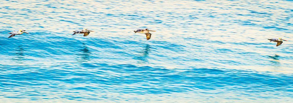 pelicans_flying_pattern.jpg