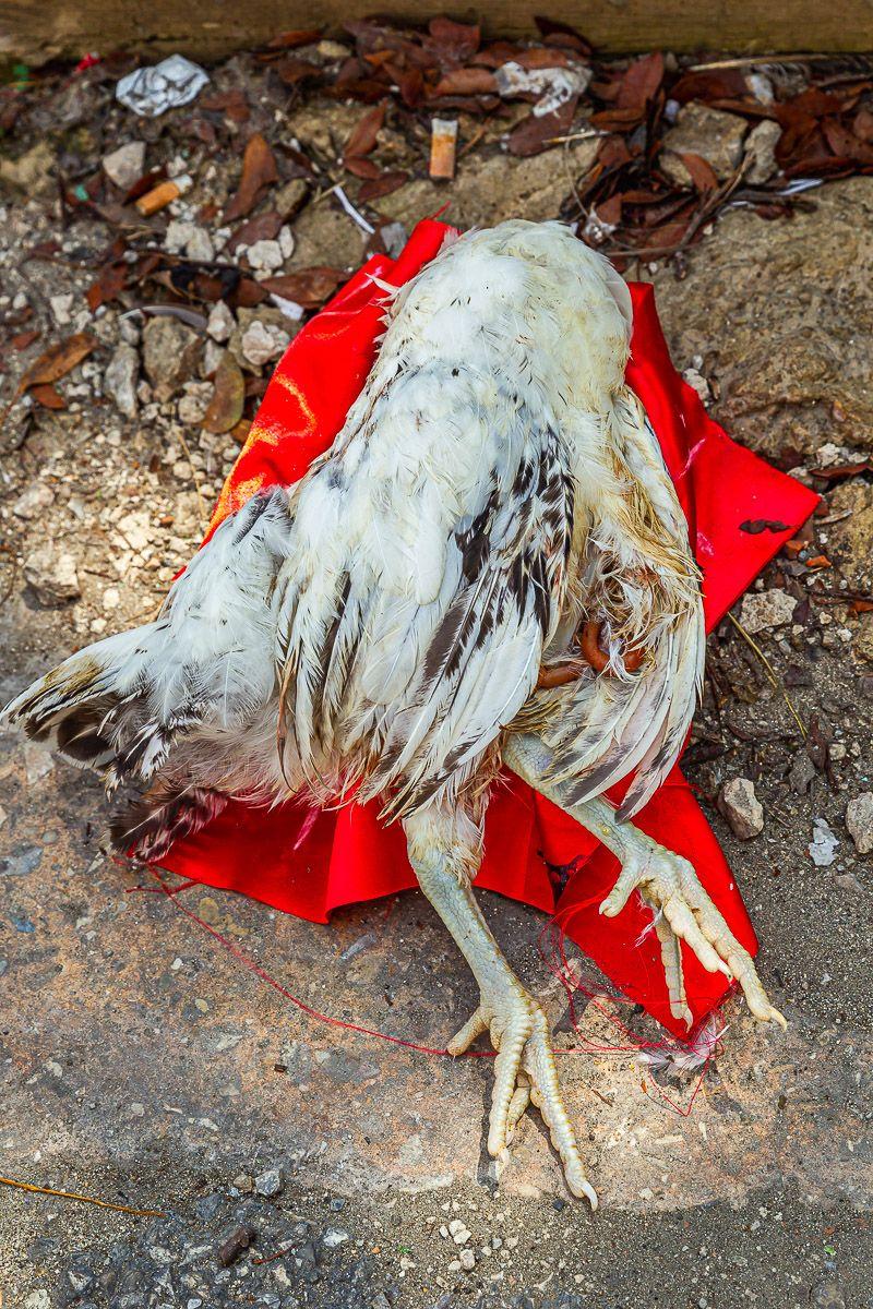 cuba_santaria_chicken_sacrifice.jpg