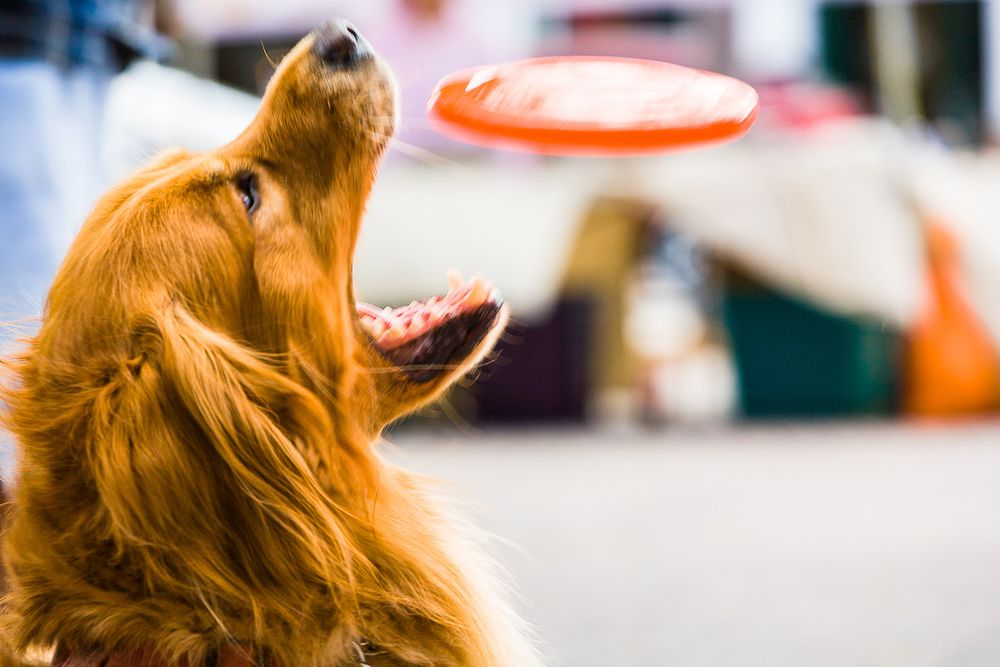 1golden_retriever_frisbee.jpg