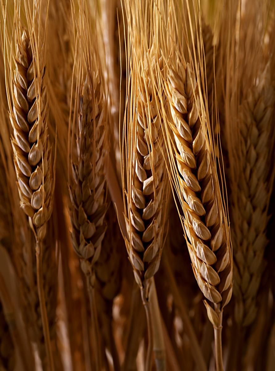 1wheatsheaths.jpg