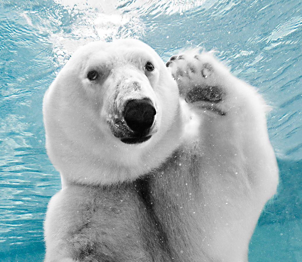 Polar Bear Waving Hello While Under Water.jpg